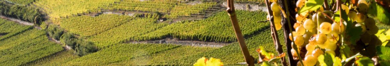 Photo: Grappes de raisin au cœur du vignoble.